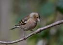 Female Chaffinch. by razer