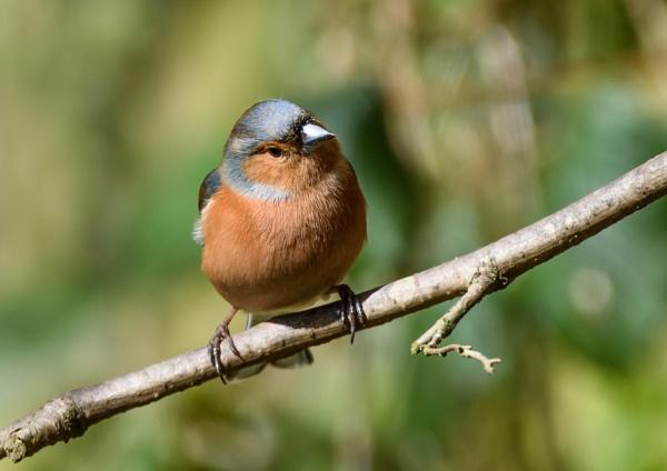 Male  Chaffinch by razer