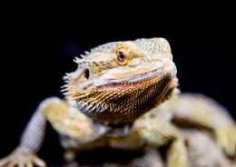 Bearded Dragon.
