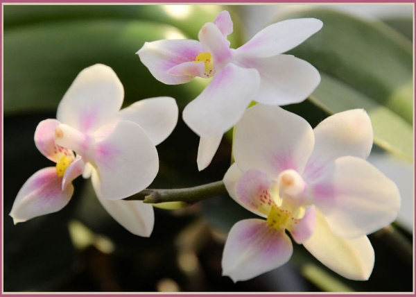** Delicate Orchid ** by Rock