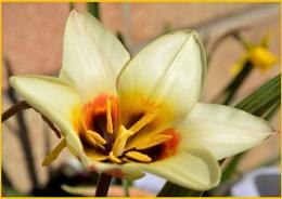 ** Garden Tulip **