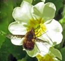 First Bee Fly Of The Season by KarenFB