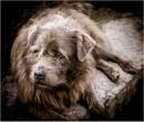 Brown dog by KingBee