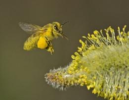 Honey Bee.