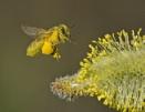 Honey Bee. by JeanE
