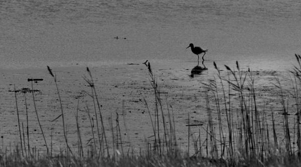 Redshank by oldgreyheron