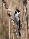 Reed bunting by oldgreyheron