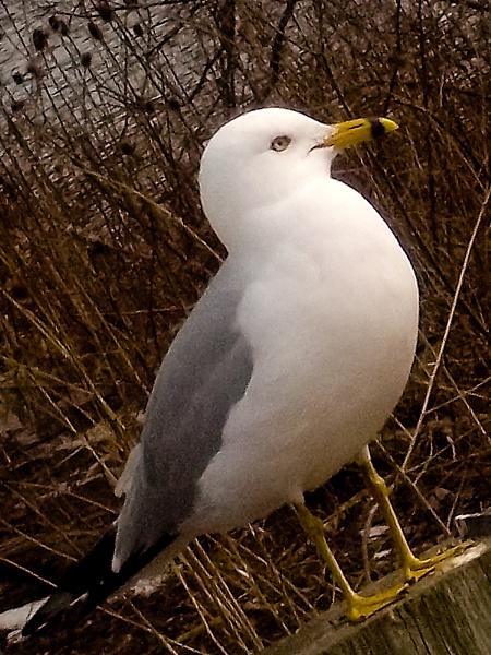 Larus michahellis at Spencer Creek in Dundas or Yellow-legged gull at Spencer Creek in Dundas by TimothyDMorton