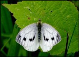Small White-Pieris rapae(f).