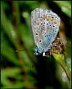 Common Blue(m).. by Badgerfred