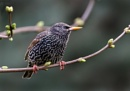 Starling by paulbroad