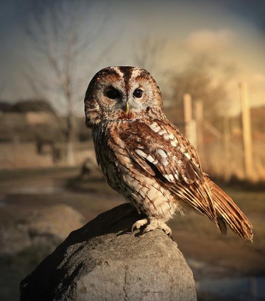 Tawny Owl. by mex