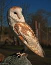 Barn owl. by mex