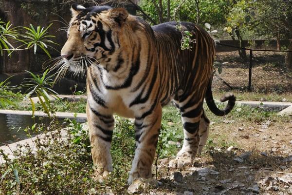 Nandan Kanan Tiger by prabhusinha