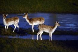 Deer by Moonlight.