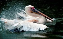 Splashing Pelican