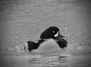 splish aplash by sparrowhawk