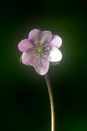 Pink Hepatica Flower