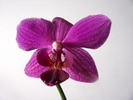 Phalaenopsis. orchid