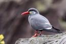 Inca Tern by SteveMoulding