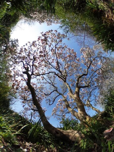 Magnolia by nclark