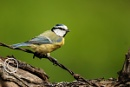 Blue Tit on the wire by DARPhotography