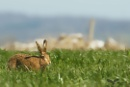 Brown Hare by Louise_Morris