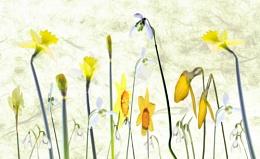 Snowdrops & Daffodils