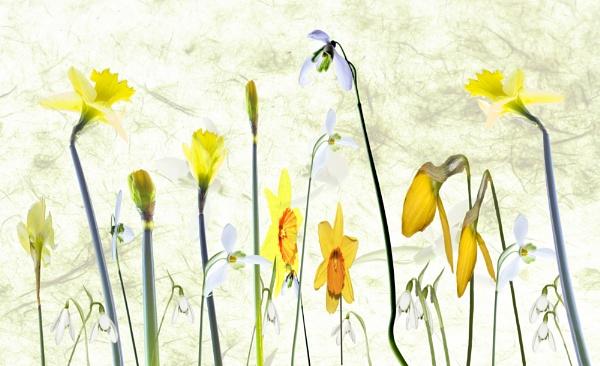 Snowdrops & Daffodils by Irishkate