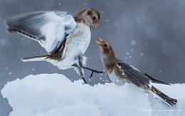 Snow Buntings Disagreement