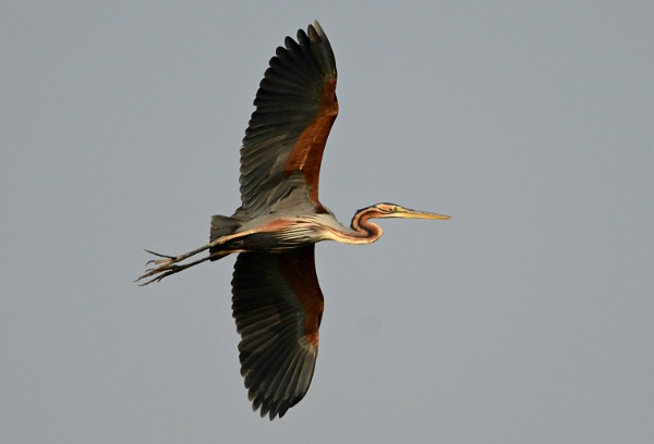 Purple Heron by swami1969