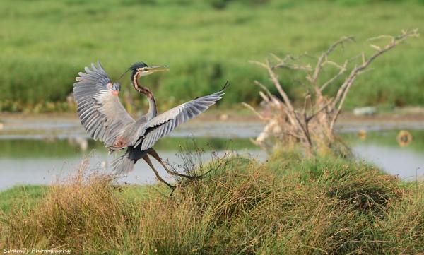 Purple Heron by swami1969