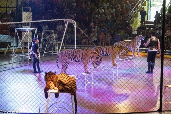Tiger Show - Sriracha, Pattaya Thailand by Swarnadip