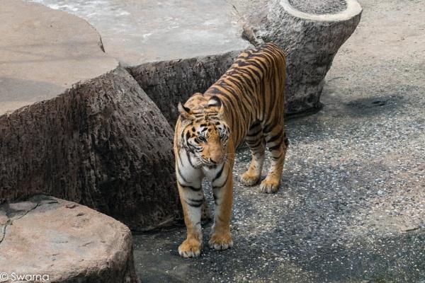 Royal Bengal - Sriracha Tiger Zoo, Pattaya Thailand by Swarnadip