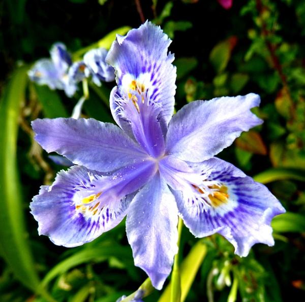 Iris by JuBarney