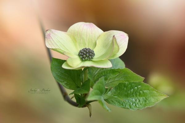 Cornus nuttallii \'Pink Blush\' by jackyp