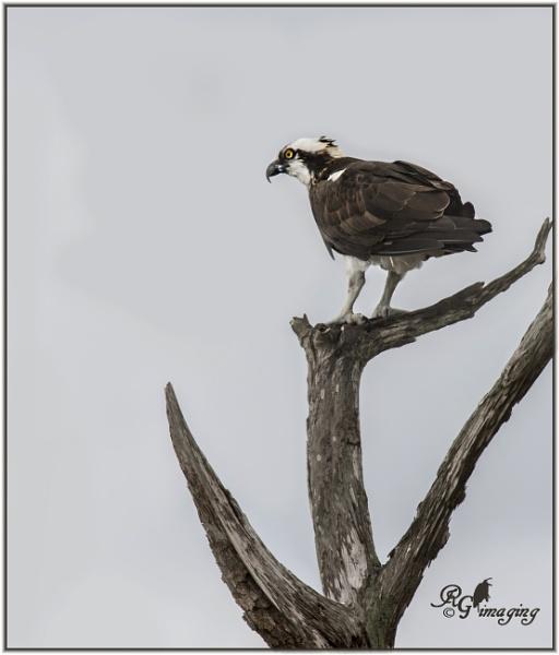 Osprey by rgg