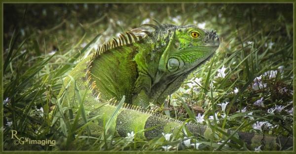 iguana by rgg