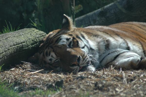 Tiger in the springtime sunshine