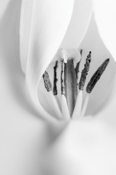 White Tulip by gowebgo