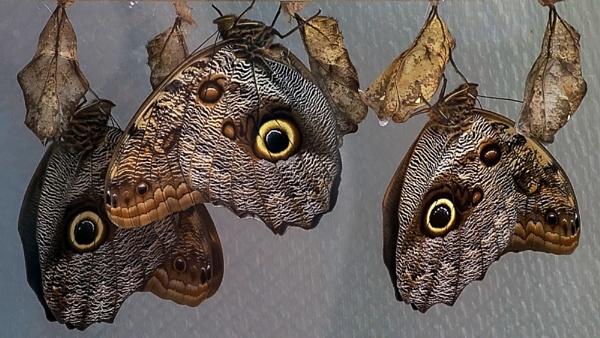 Owls Emerging