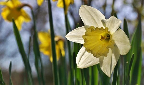 Daffodil by georgiepoolie