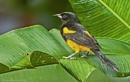 "Black Cowled Oriole ""Icterus Prosthemelas"", Costa Rica by brian17302"