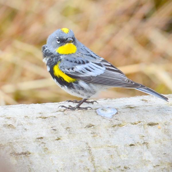 Audubon Warbler by tonyguitar