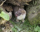 Stoat 1 by doverpic