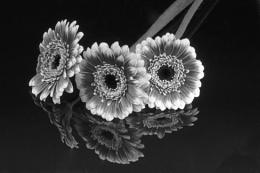 Gerbera reflections