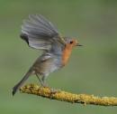 Robins by Holmewood