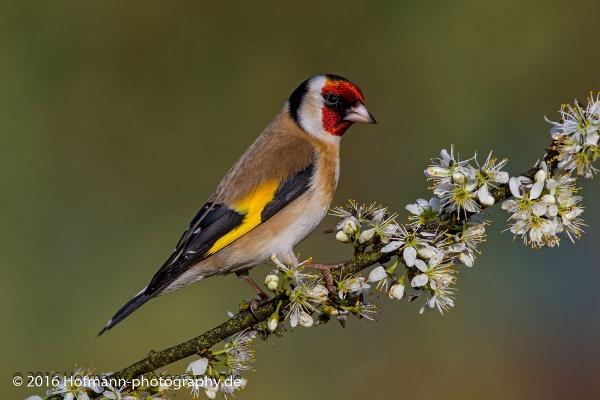 Spring Goldfinch by drbird