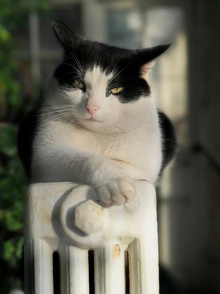 Comfy cat by MervinS