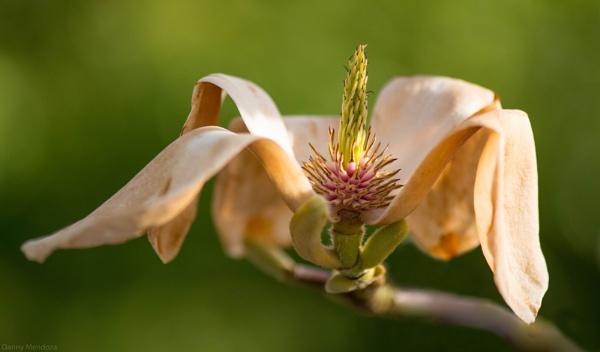 Magnolia by Danny1970